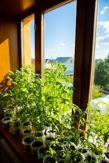 창 근처 묘목 트레이에 젊은 녹색 모종 콩나물. 봄에 작은 화분에서 자라는 씨앗 심기. 집에서 야채 농장