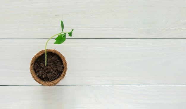 흰색 나무 배경에 에코 냄비에 오이의 젊은 녹색 묘목