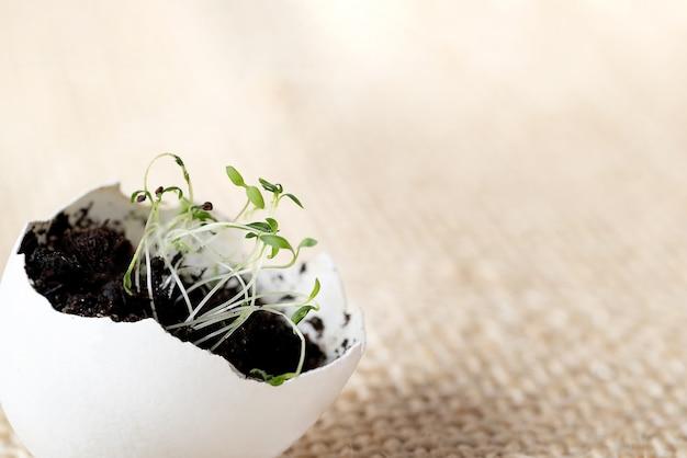 黄麻布の表面の卵殻で発芽する若い緑の苗