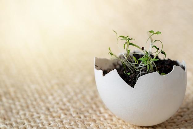明るい表面の卵殻で発芽する若い緑の苗