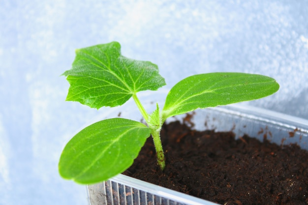 Young green sprouts of cucumber in the ground. seedlings in the garden.