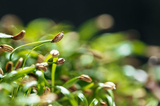 Молодые зеленые ростки микро зеленого крупным планом