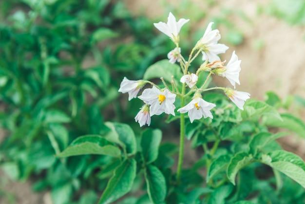 土で育つジャガイモの若い緑の芽。