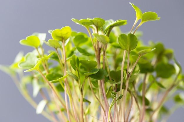若い緑の芽/苗ルッコラ