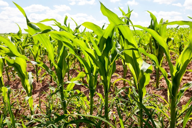 Young green stalks of corn in the farmer field. spring time of the year
