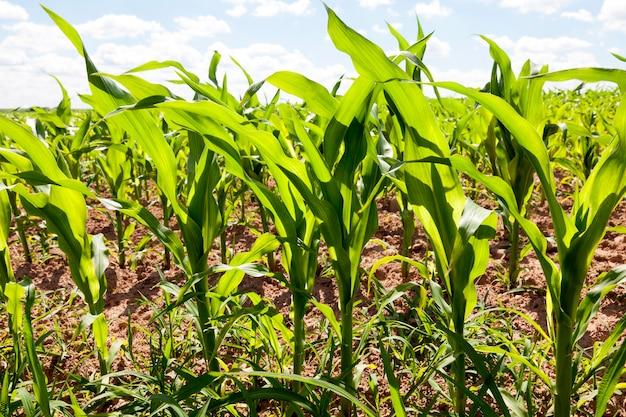 農民の畑のトウモロコシの若い緑の茎。今年の春の時期