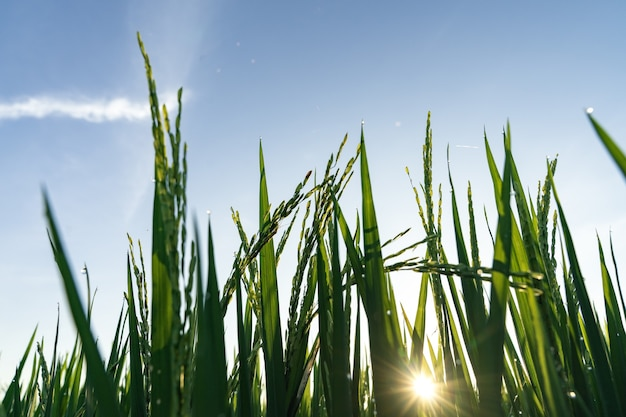Young green stalks of rice on a blue sky.