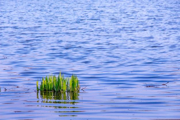 川の背景の青い水に若い緑の茎スゲ