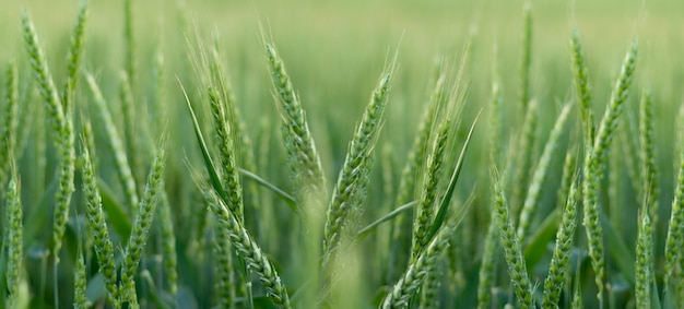 Young green wheat field panoramic background banner. ukrainian summer harvest