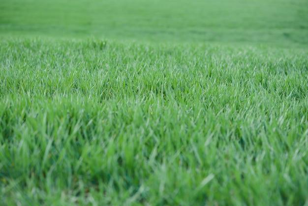 土で育つ若い緑の小麦。フィールドで育つ小麦苗