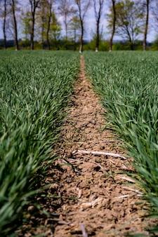 이른 봄에 필드에 젊은, 녹색 밀.