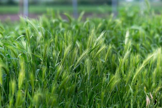 Молодые зеленые колоски пшеницы, растущих в поле. зеленый цветочный фон или текстуру. концепция сельского хозяйства
