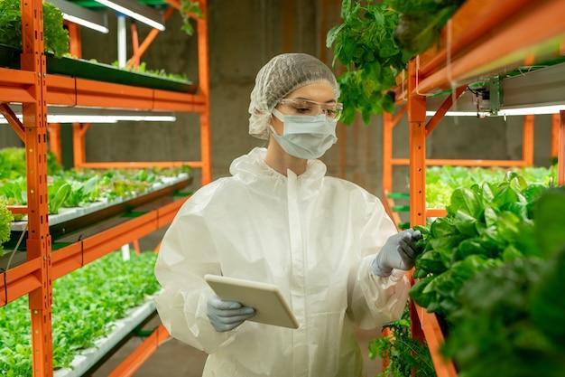 보호복, 마스크, 안전 고글을 쓴 젊은 온실 노동자는 태블릿을 들고 수직 농장에서 녹색 잎을 확인합니다.