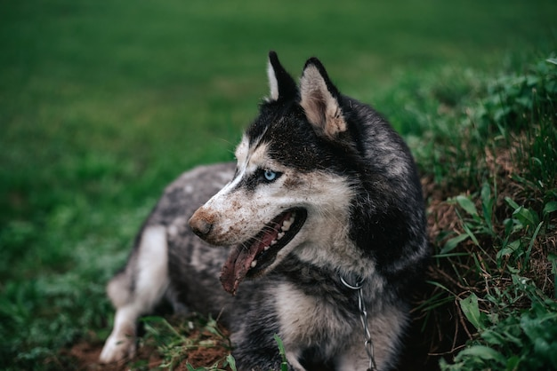 Молодые серо-белые сибирские хаски очень грязные. она лежит на зеленой траве.