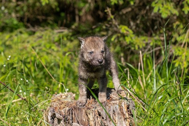 Young grey wolf