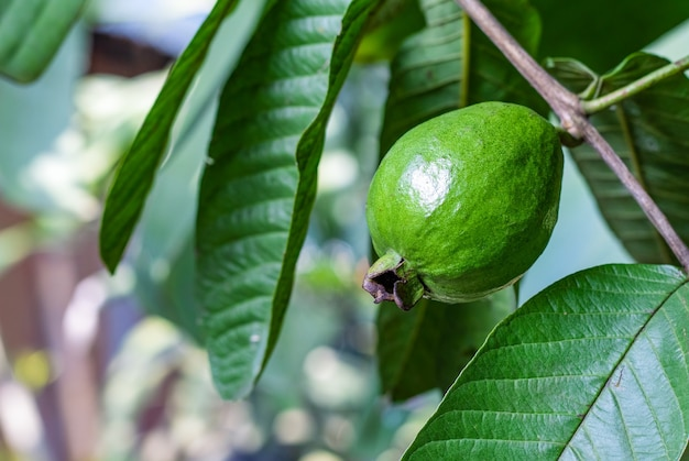 정원에 가까이 있는 나뭇가지에 있는 어린 구아바 과일