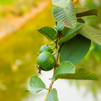 Young guava fruit on tree