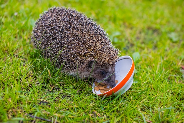 Young hedgehog eating cat food.hedgehog and a plate on green grass.