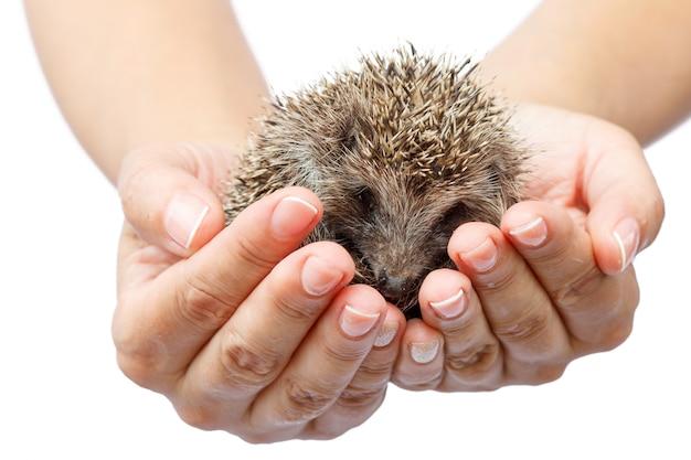 Молодой ежик в человеческих руках. маленькое животное нуждается в защите. защита окружающей среды. малая глубина резкости. белый изолированный фон
