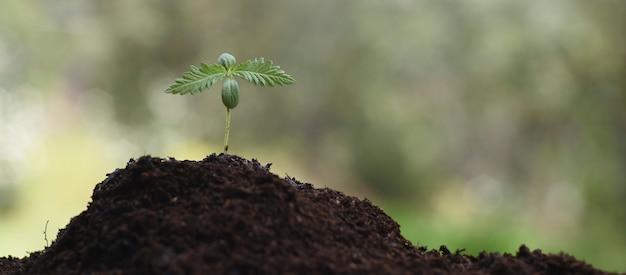 薬用栽培cbd、カンナビジオールのための若い麻。