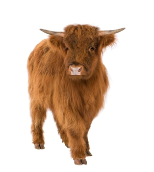 Young highland cow on a white isolated