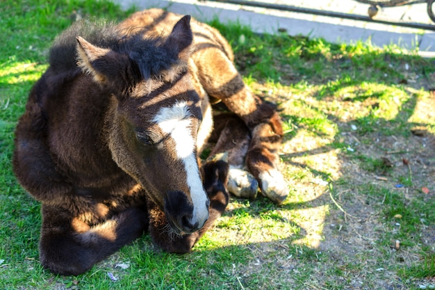 A young horse lies on a green grass on a summer day.