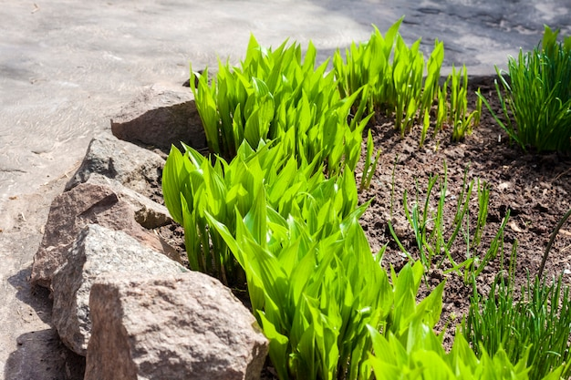 Young hosta lancifolia plants in garden in spring day