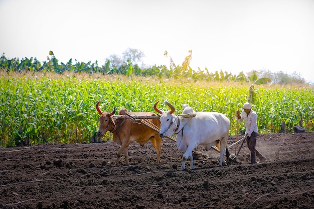 Young indian farmer plowing at field