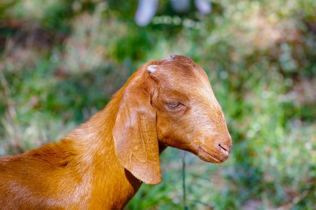 フィールドで若いインドのヤギ