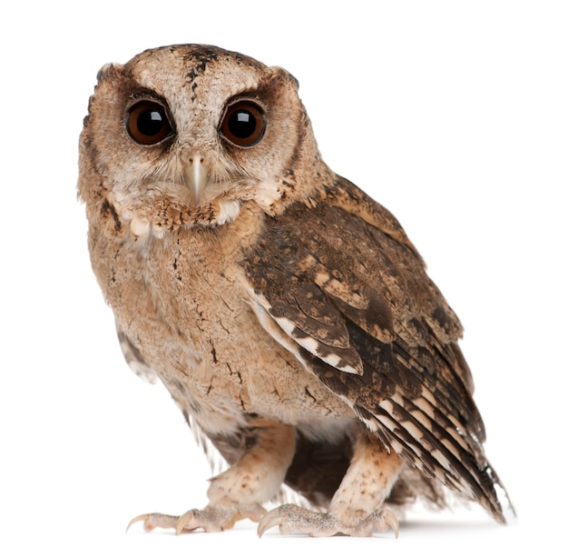 Young indian scops owl, otus bakkamoena, on white isolated