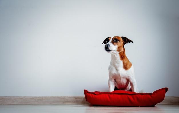 Молодой джек рассел терьер собака сидит на красной подушке на полу возле белой стены дома.