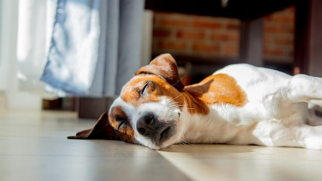 Young jack russell terrier dog sleeping on a floor in room near window.