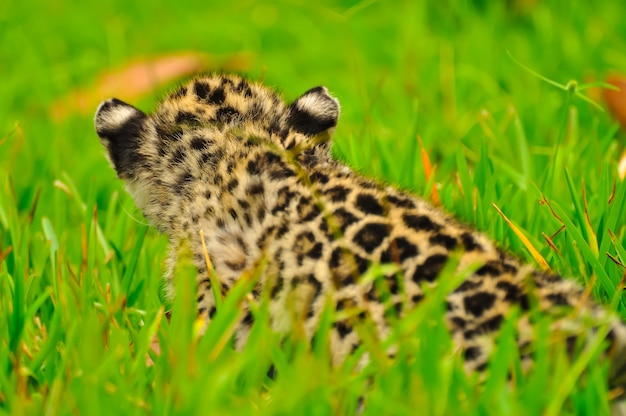 A young jaguar stalking in the grass