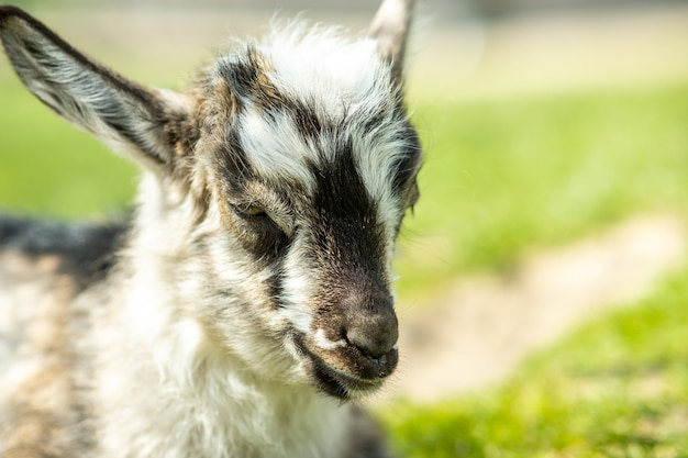 Young kid goat on farm yard in summer day