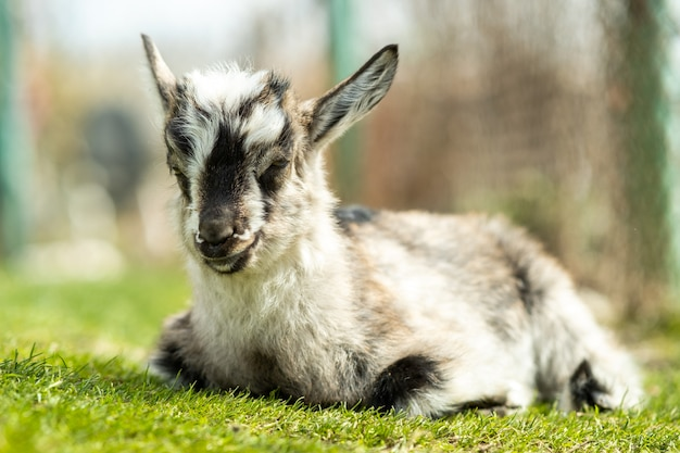 Young kid goat on farm yard in sunny summer day.