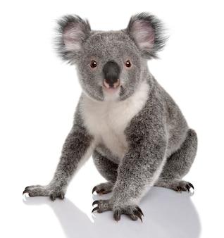 Young koala, phascolarctos cinereus, on a white isolated