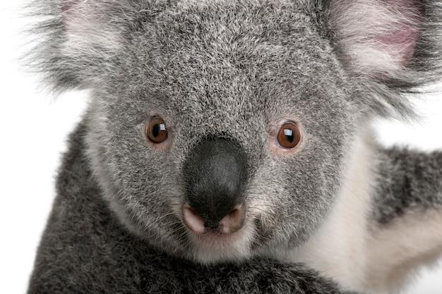 Молодая коала - phascolarctos cinereus