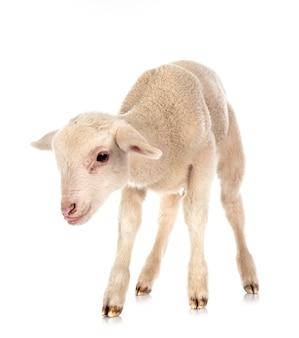 白い表面の前に若い子羊