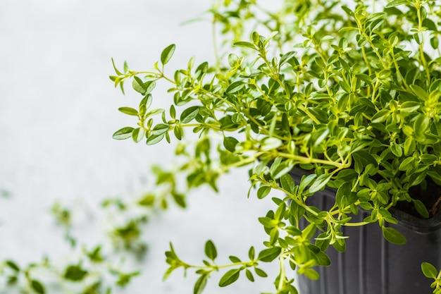 냄비, 묘 목에 백 리 향의 어린 잎. 흰색 배경, 정원 개념