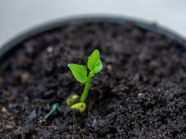 Young lemon tree seedling