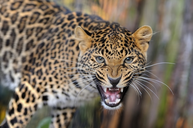 Young leopard in nature Premium Photo