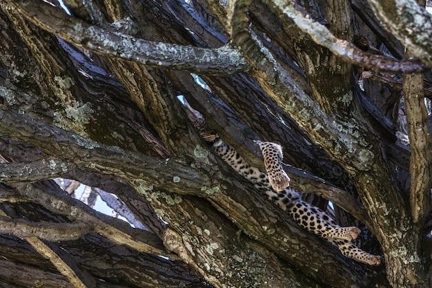 Молодой леопард отдыхает на ветке. серенгети, танзания
