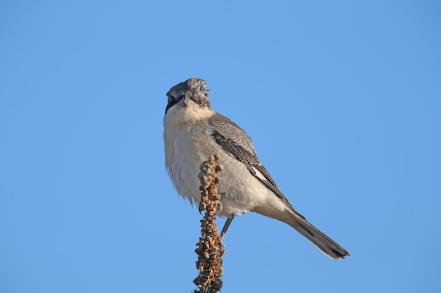 A young lesser gray shrike (lanius minor) sits on a dry branch of a plant against a bright blue sky. close-up detailed photo of a bird
