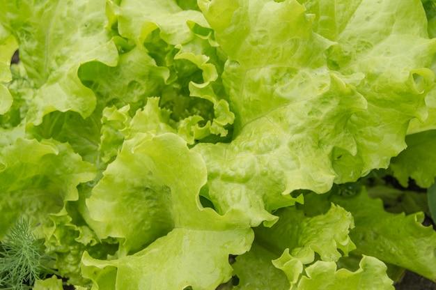 若いレタスはベッドの上を残します。オープングラウンドで野菜を栽培しています。 Premium写真