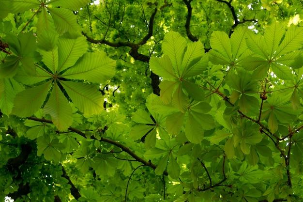 Молодой светло зеленый каштан листьями текстуры фона