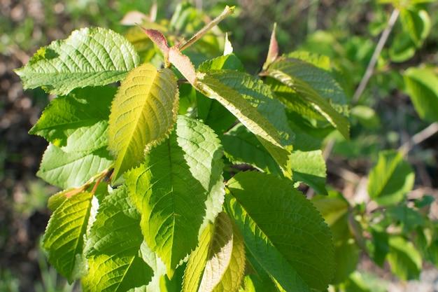 太陽に照らされた若い薄緑の葉。美しい自然の春の背景