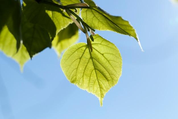 今年の春の若いリンデン緑の葉、クローズアップ