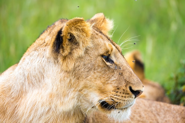 A young lion in close-up, the face of a nearly sleeping lion