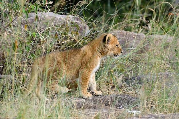 野生の若いライオンの子。アフリカ国立公園