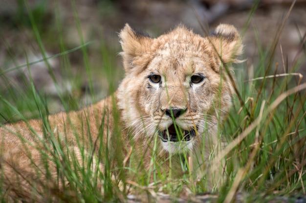 野生の若いライオンの子